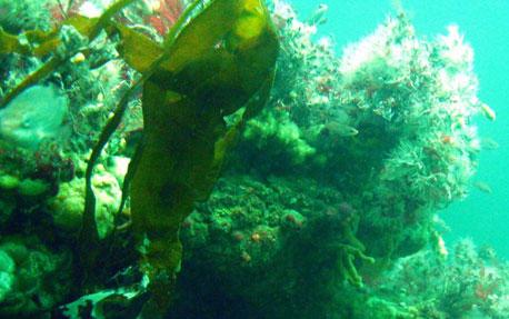 Boblerev, samt nogle af de dyr og alger der er knyttet til boblerevene.. Fotograf: Mikkel Schmedes