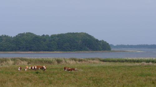 Kreaturer afgræsser rigkær ved Udby Vig. Fotograf: Peter Leth